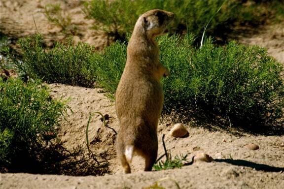 Prairie Dog Hunts - huntvarmints.com